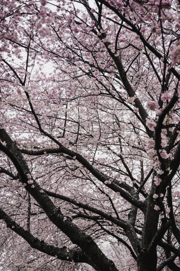 Trees in bloom photo