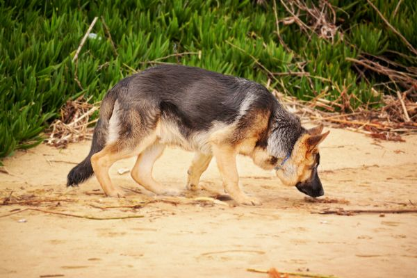 German Shepherd Dog Sniffing on the Beach photo