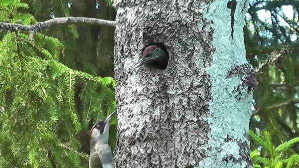 Green woodpecker  bird world  tree video