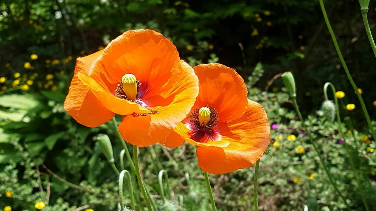 Free Video Poppy The Two Clusters Flowers By Emdwkcl